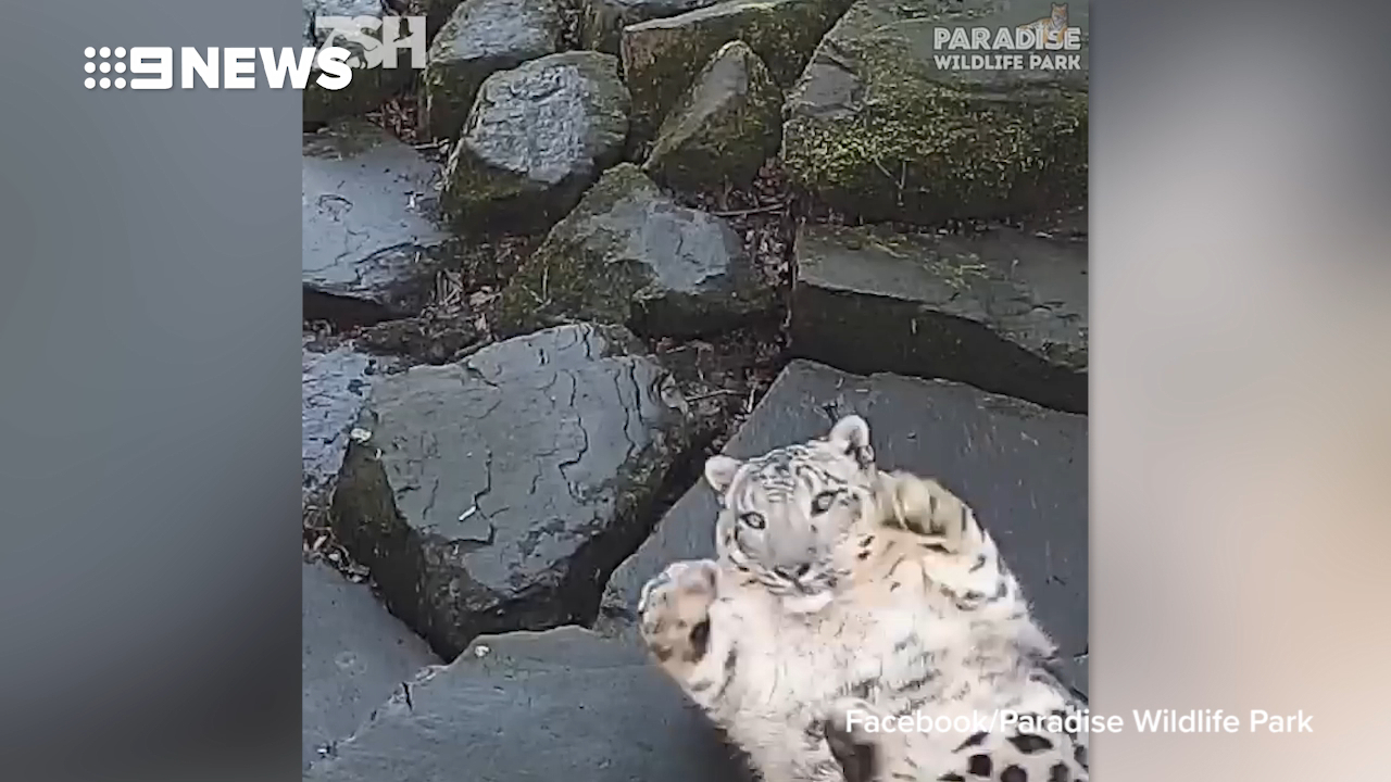 Snow leopard gets huge shock when it notices new camera in enclosure