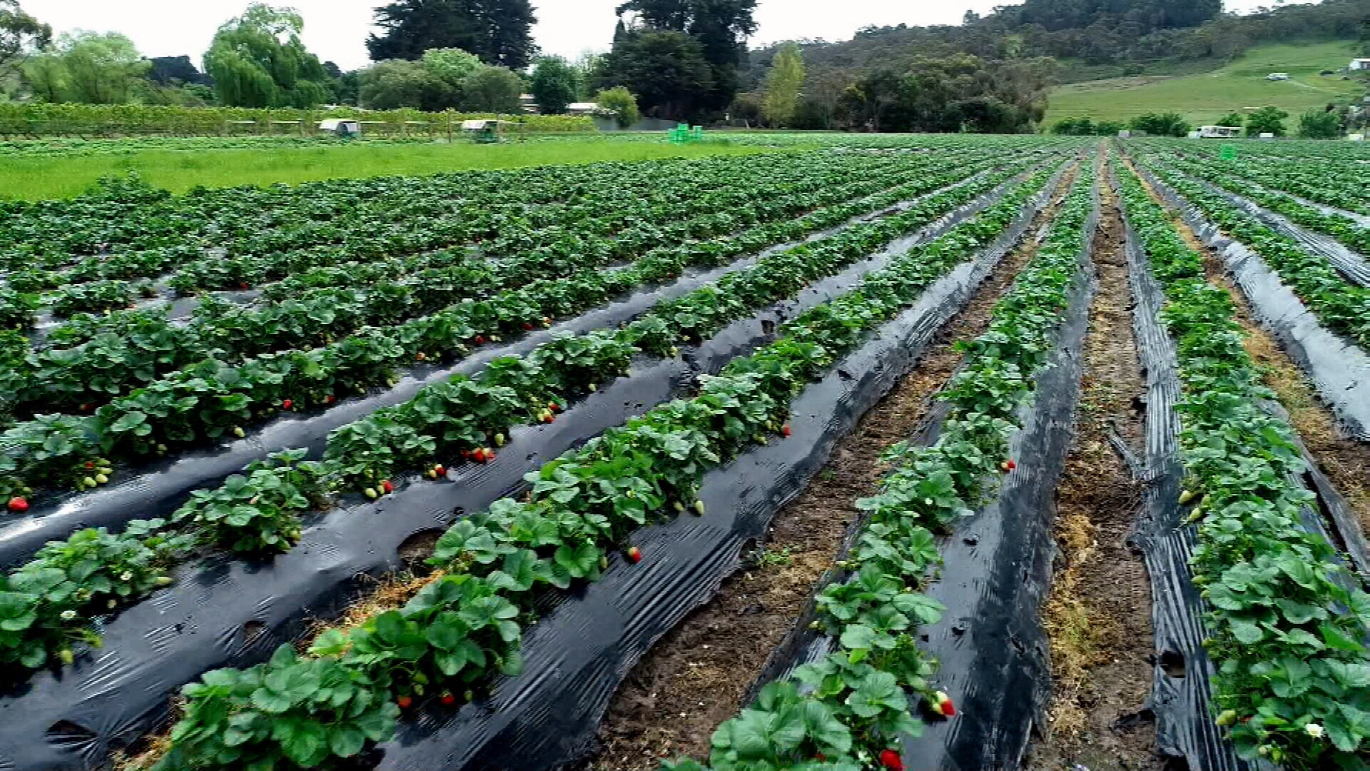 Supermarkets to support SA strawberry growers