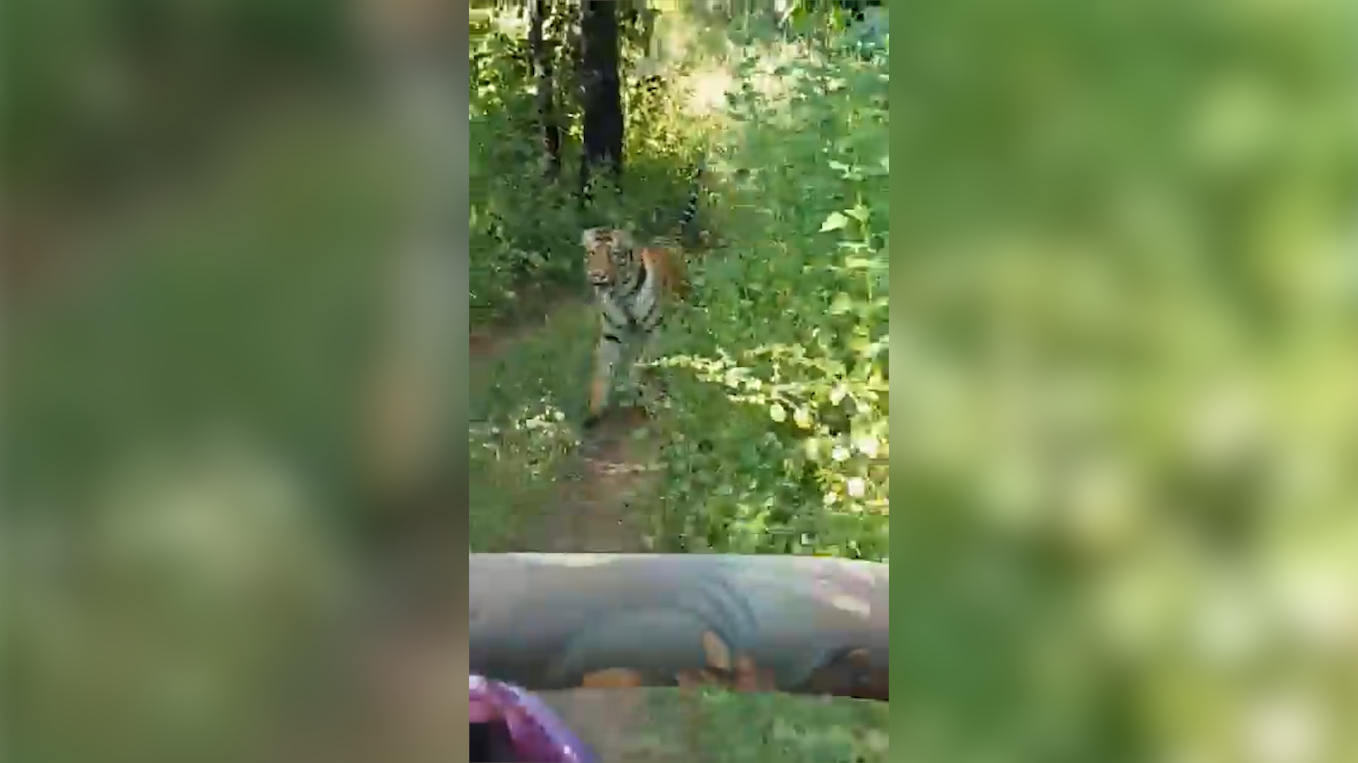 Video of tiger chasing tourist bus goes viral