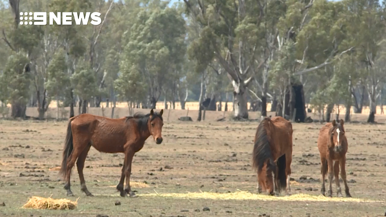 Claims brumbies were left to starve