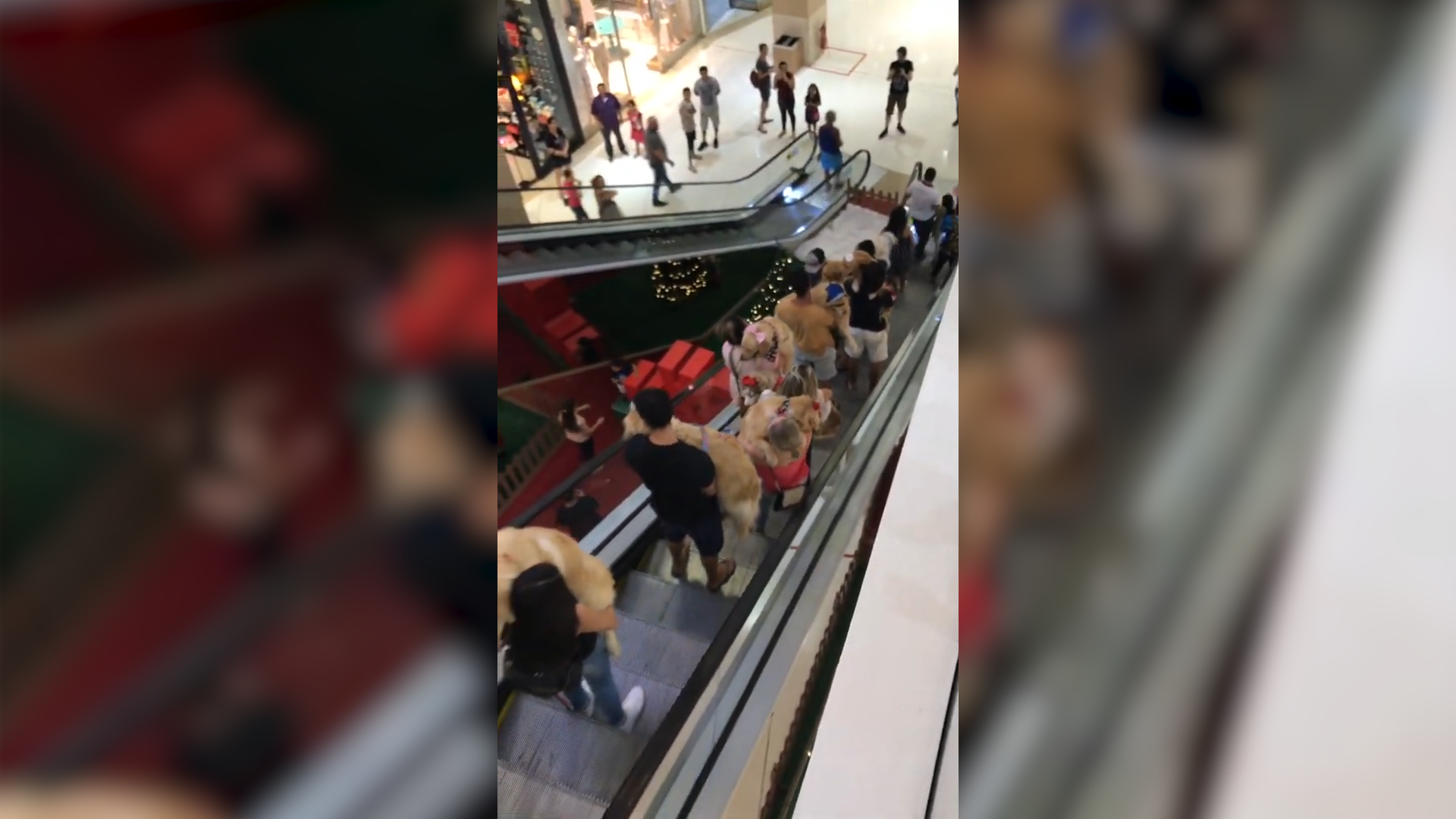 Golden retriever owners take dogs to mall