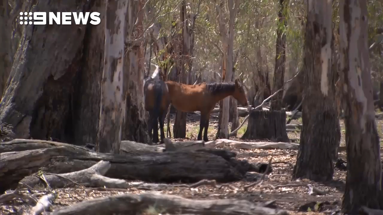 Wild brumbies starving in central Victoria