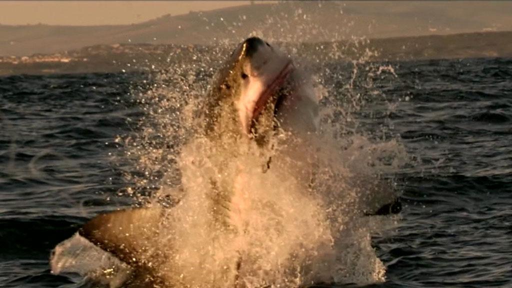 Shark population numbers drop off Australia coastline