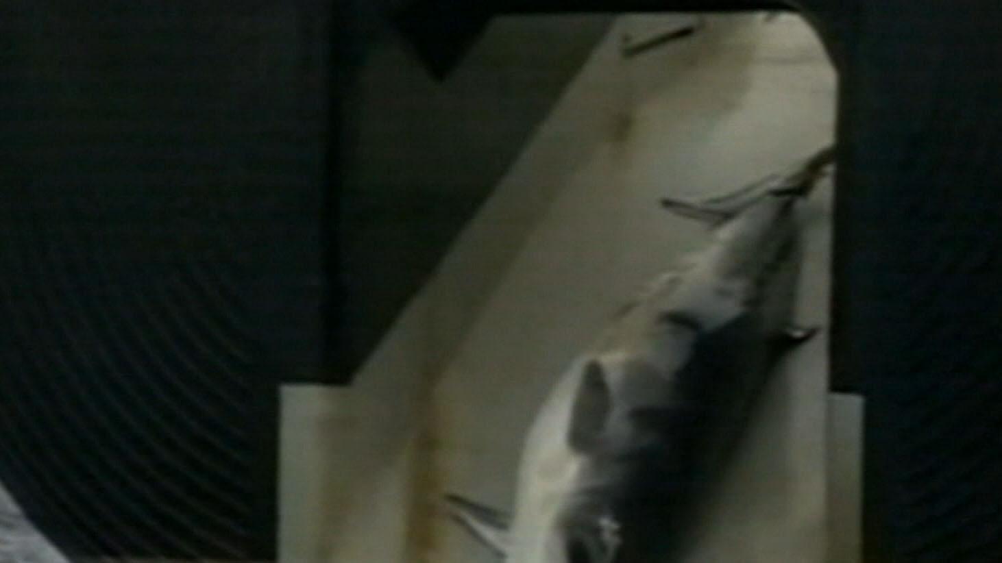 Celebrating with sake, Japan whalers bring ashore catch