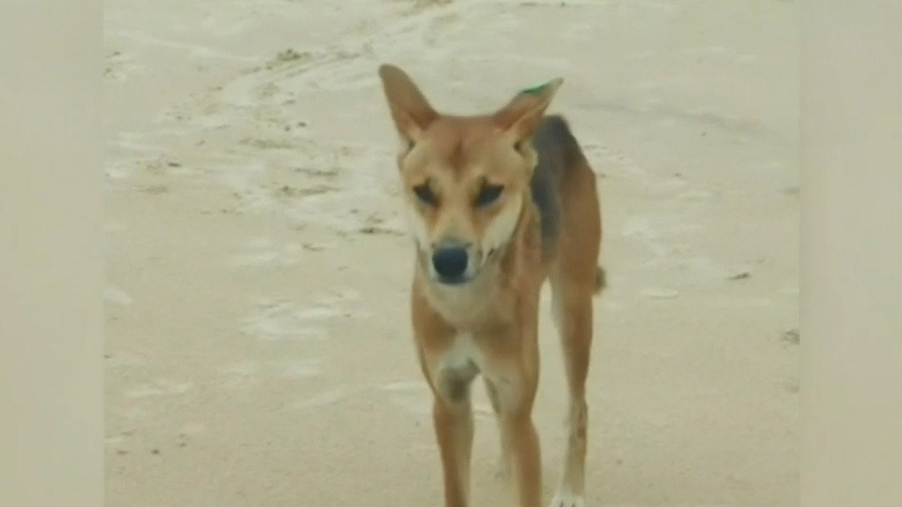 Father fights off dingo after toddler attacked in caravan
