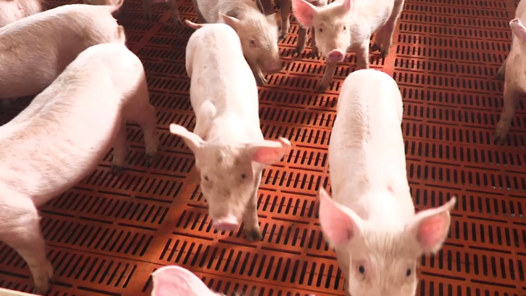 Mystery virus could wipe out China's pork industry