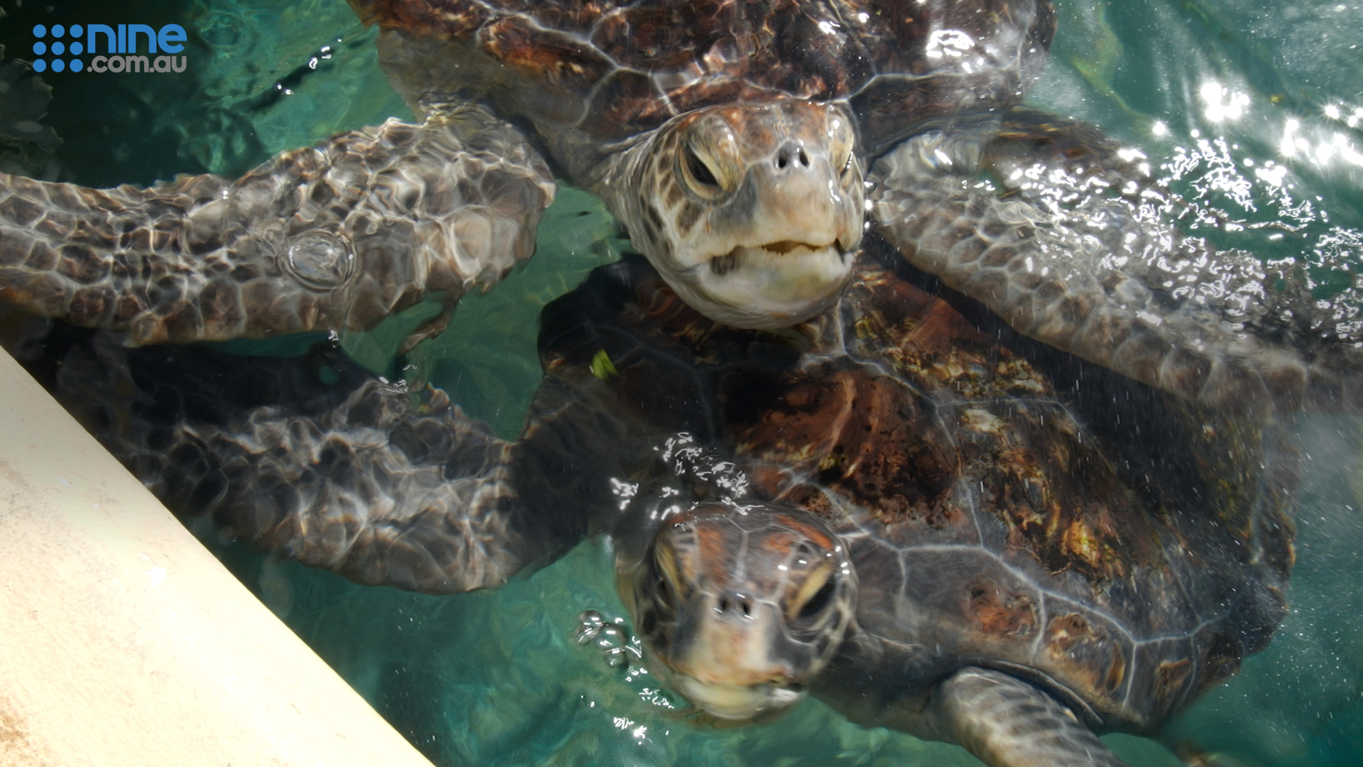 Sea turtles released as mystery pollutant causes animals to 'float'