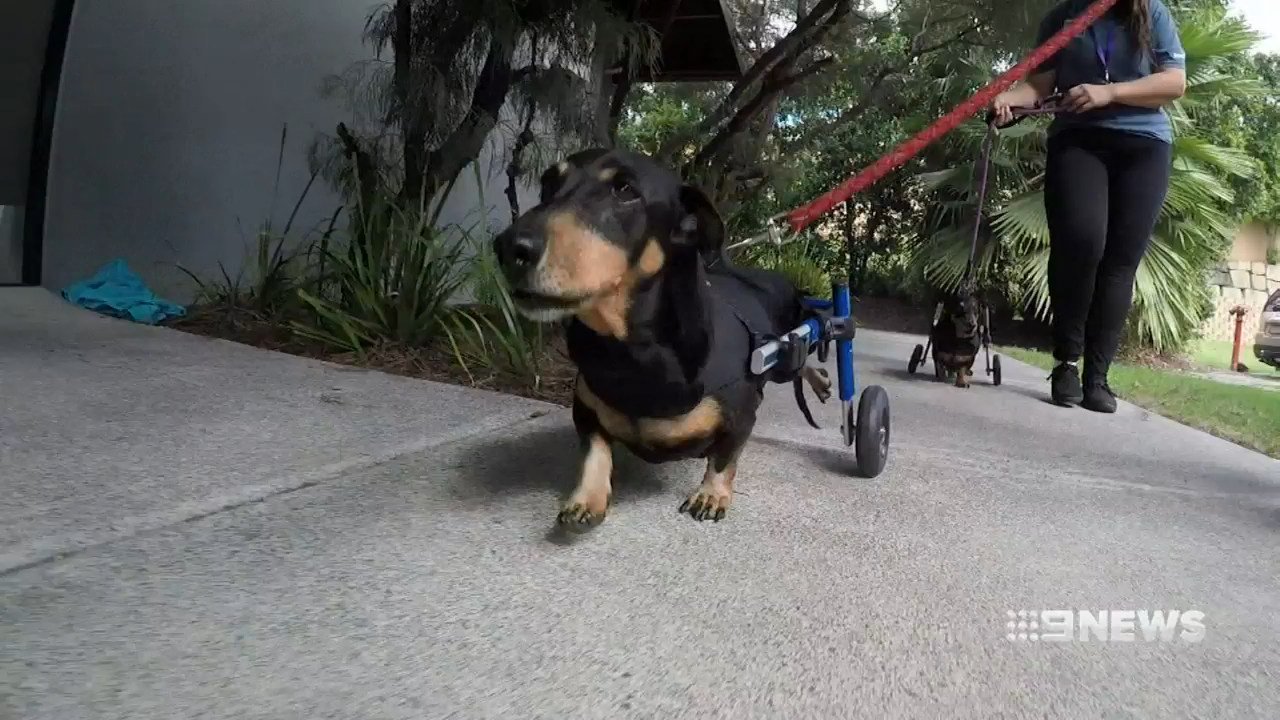 Rescued dachshunds on the lookout for new homes