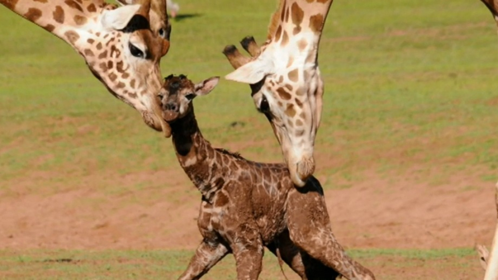 Baby giraffe born at South Australia's Monarto zoo