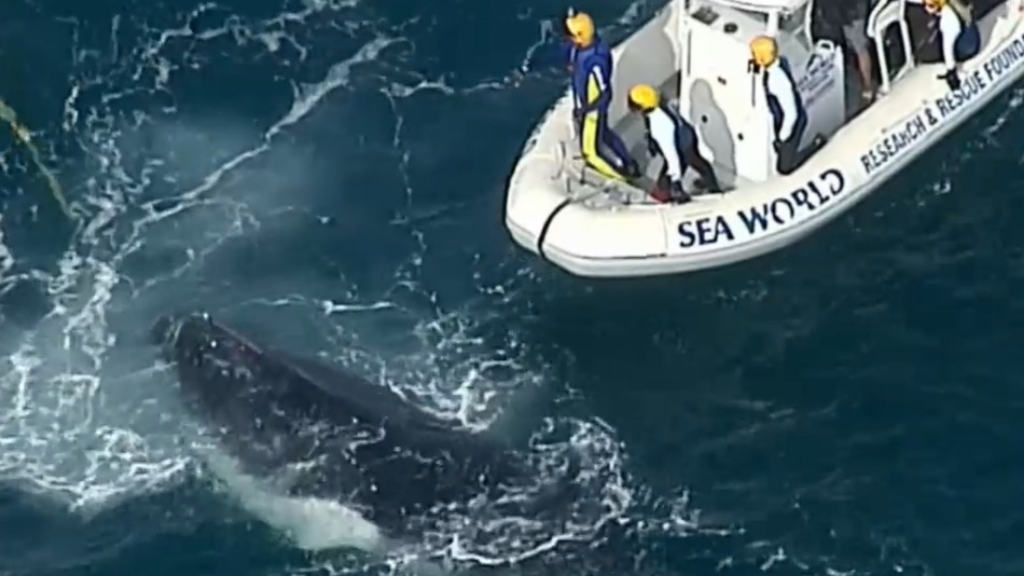 Whale freed from shark net off Gold Coast shores