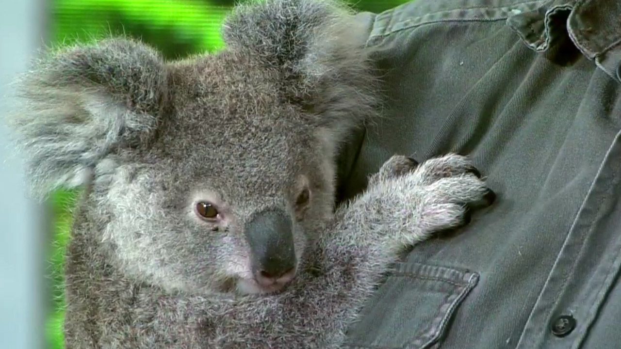 Koalas could be extinct by 2050