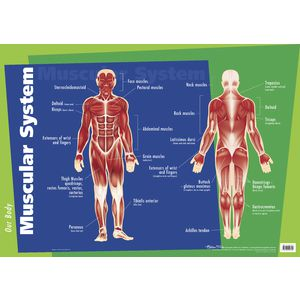 Gillian Miles Muscular System Wall Chart