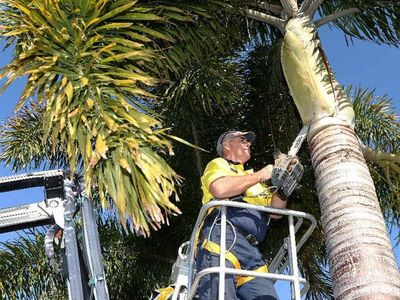 Aussie Palm Clean Mackay palm tree cleaning, frond removal, coconut fronds
