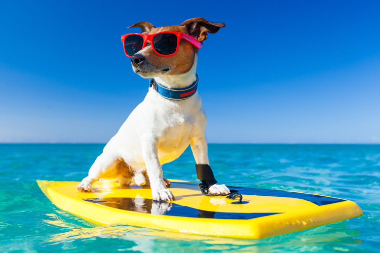 Dog with sunglasses on a surf board