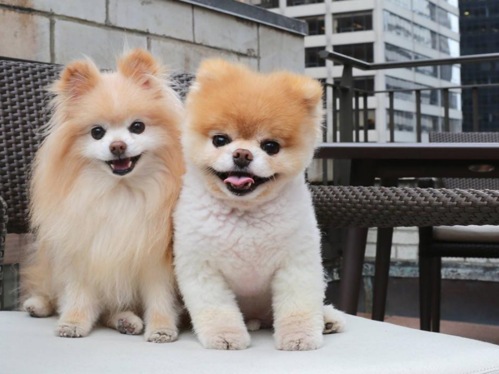two pomeranian dogs, Buddy and Boo