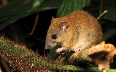 3 Things We Can Learn from the Now Extinct Bramble Cay Melomys