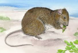 illustration of small rodent
