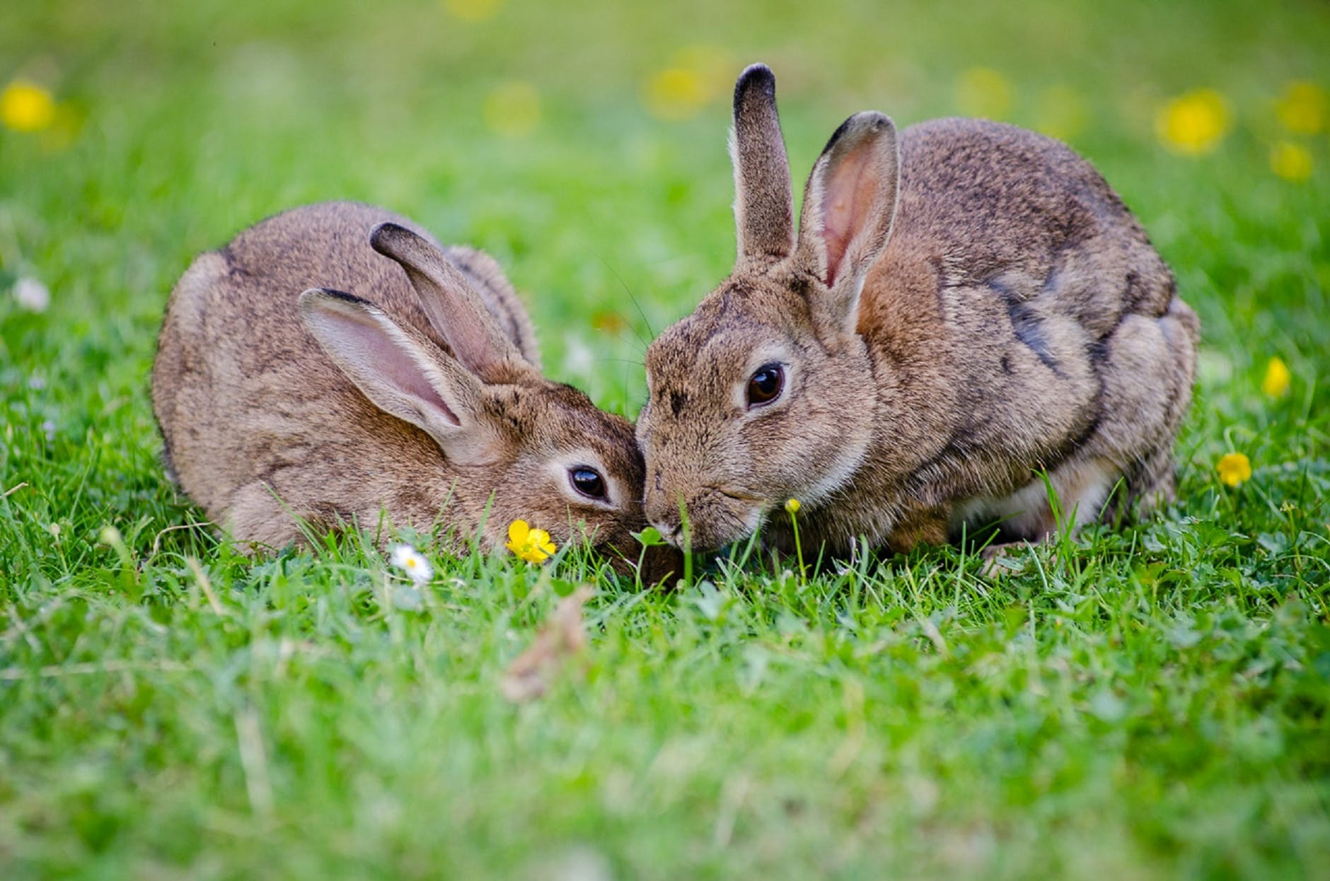 two brown rabbits in a field