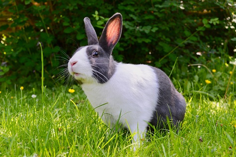 grey and white rabbit in grass