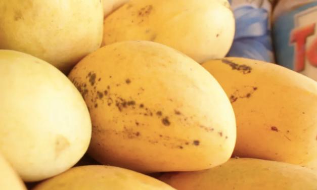 Forbidden fruit: the Palawan mango tempting tourists