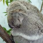 Koala chlamydia cure sitting on the shelf