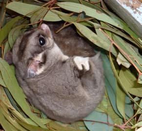 Whroo Goldfields nest box monitoring image
