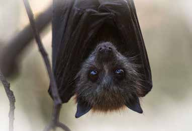 Flying Foxes image