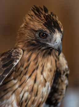 Little eagle (or booted eagle) rescued image