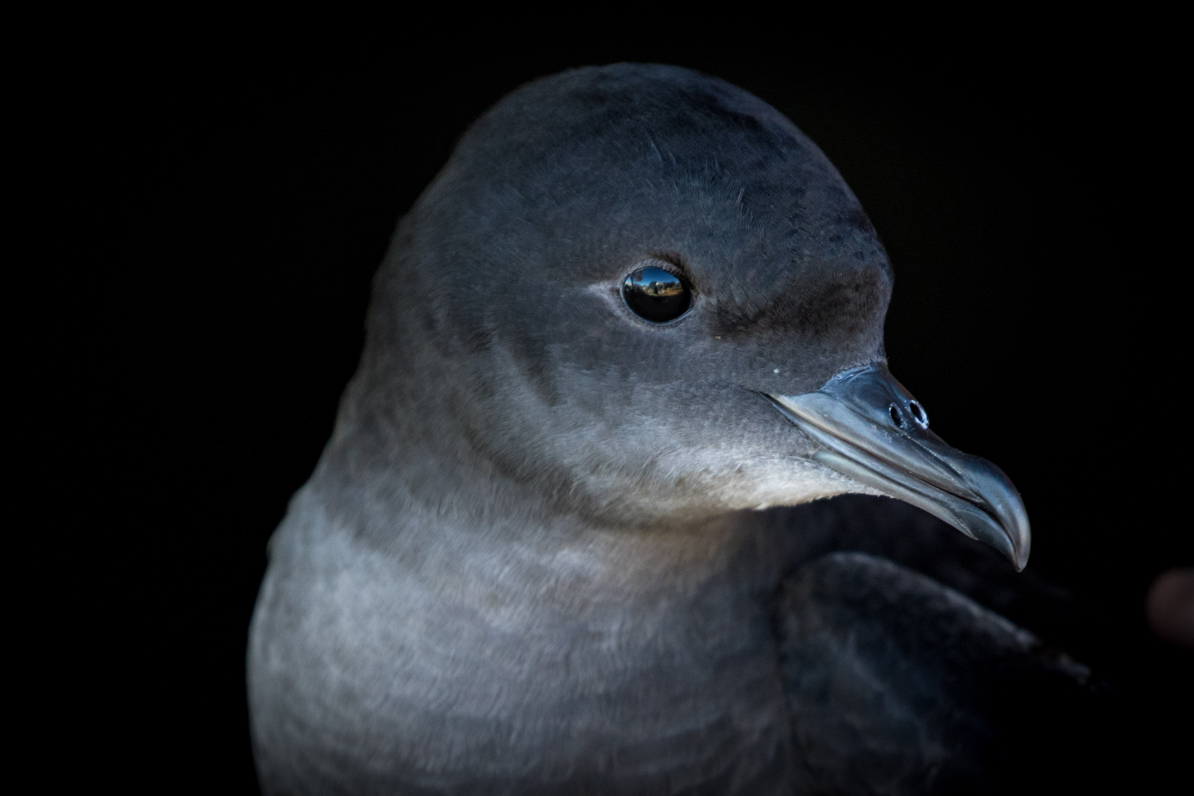 Shearwater, otherwise known as a mutton bird. image