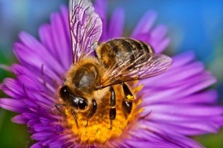 Picture of a bee pollinating a flower