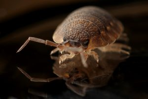 bed bugs Perth