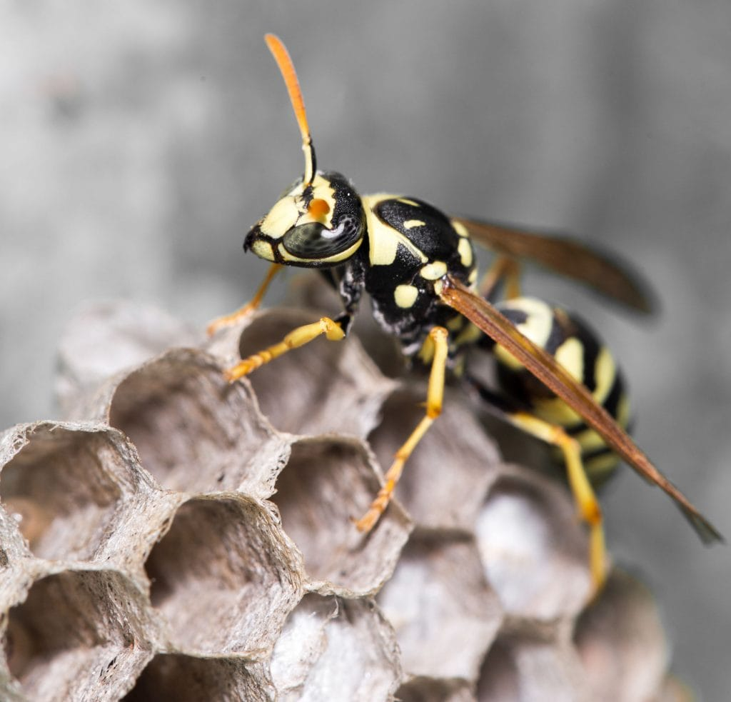 Wasp And Bee Removal Perth