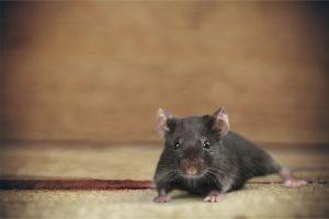 mice in Laverton