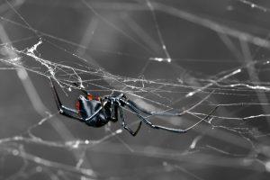 spider pest control Dandenong