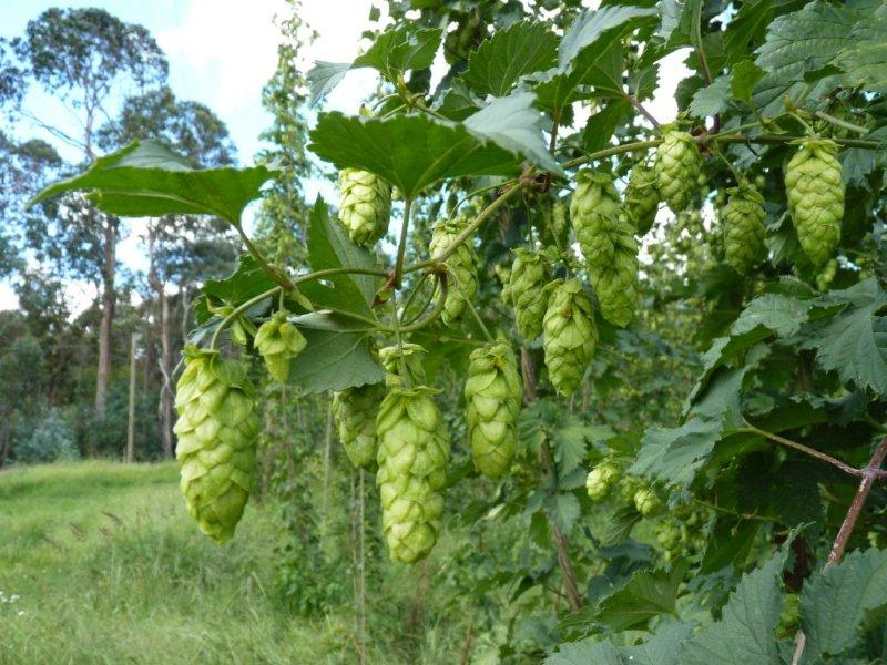 Ellerslie-hops