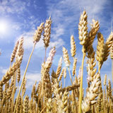 Wheat-and-Blue-Sky