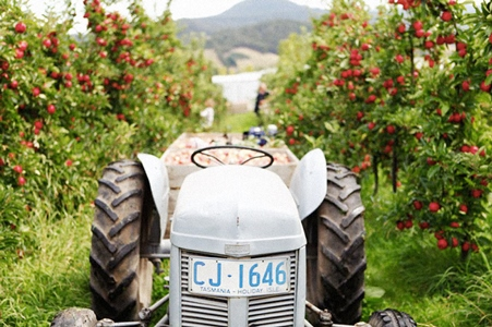 Tractor in the orchard at Willie Smiths. Photography by Ali Nasseri