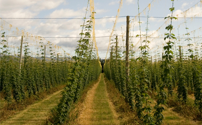 NZ-Hop-Fields_new