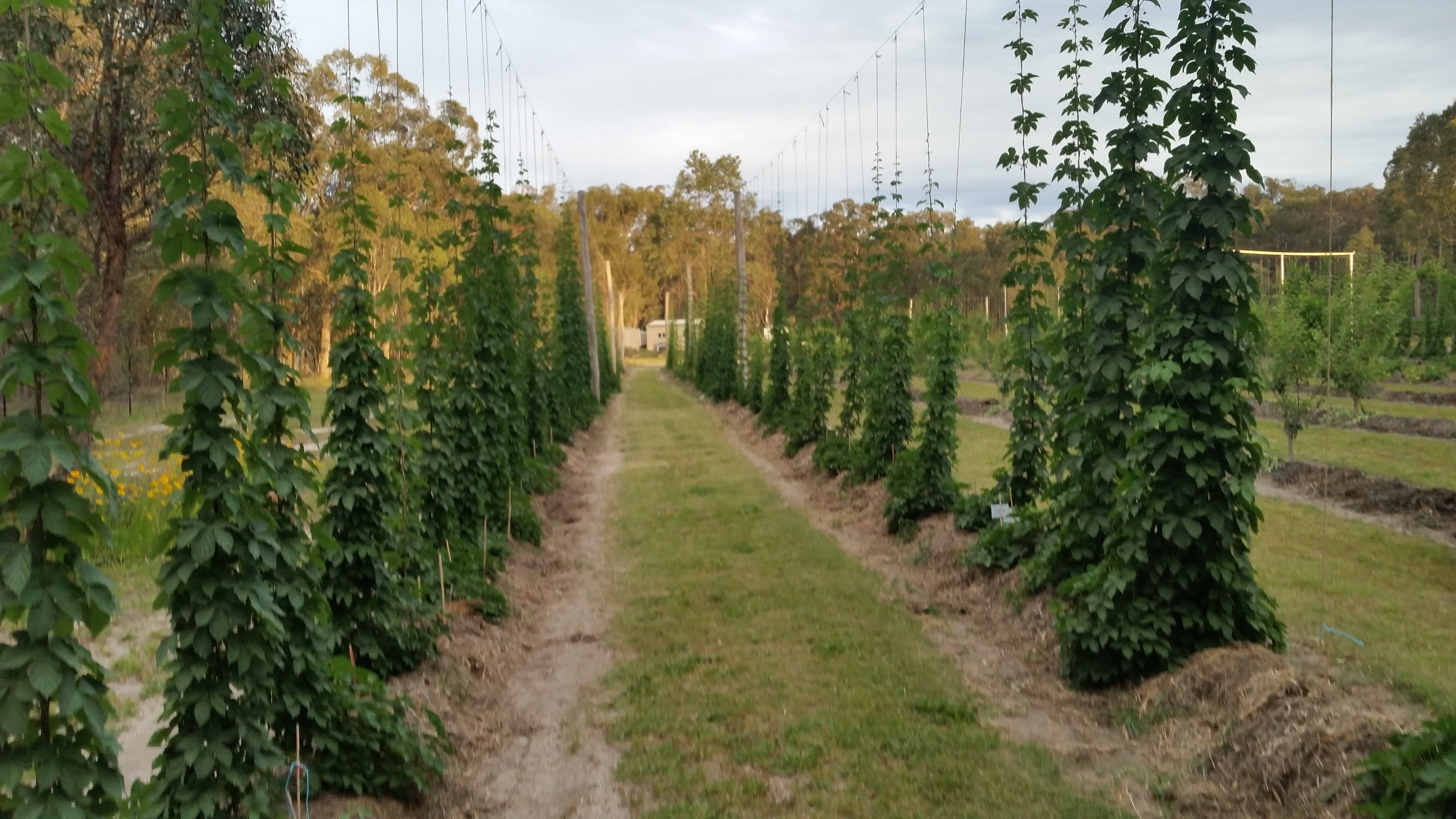 Possum Creek Hops2