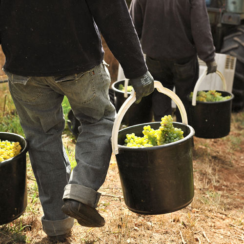 Harvesting Gruner Veltliner grapes by hand at Hahndorf Hill
