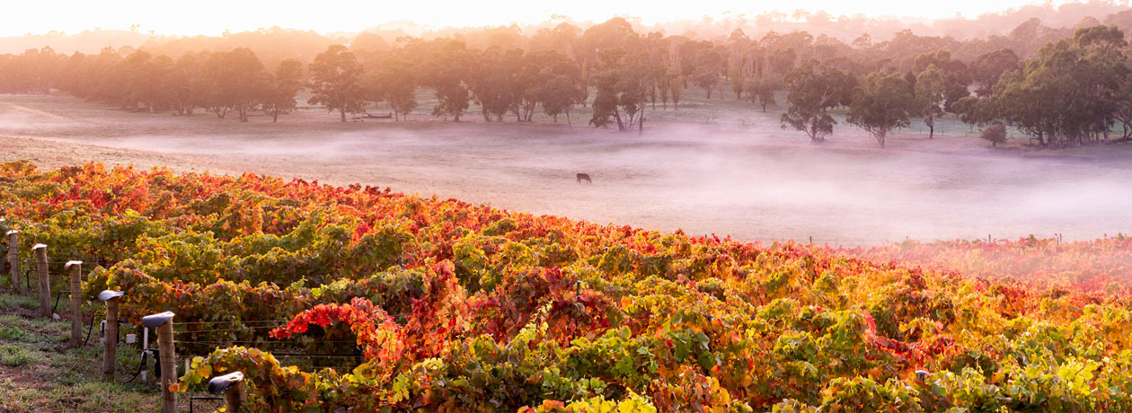 Misty Moernings at Hahndorf Hill vineyard in the Adelaide Hills