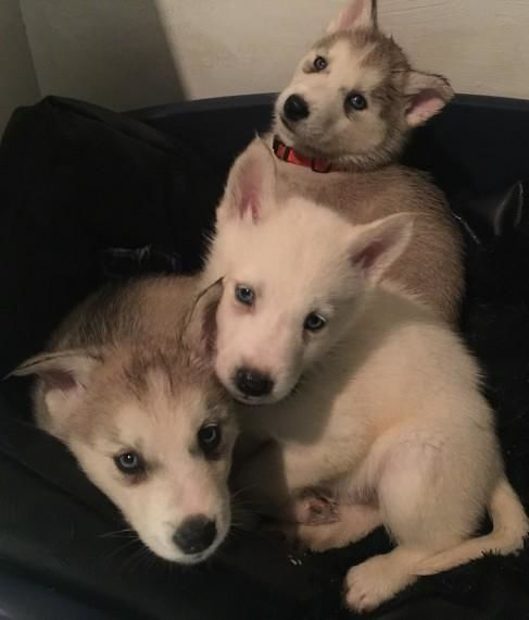 3 Siberian Huskies Puppies For Sale