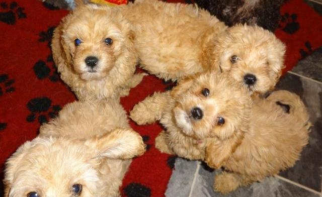 4 Cute Cockapoo puppies