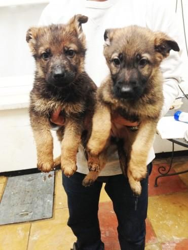 Adorable Registered German Shepherd Pups