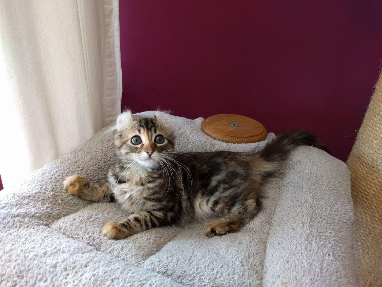 American Curl Kitten From Uk's Foundation Breeder.