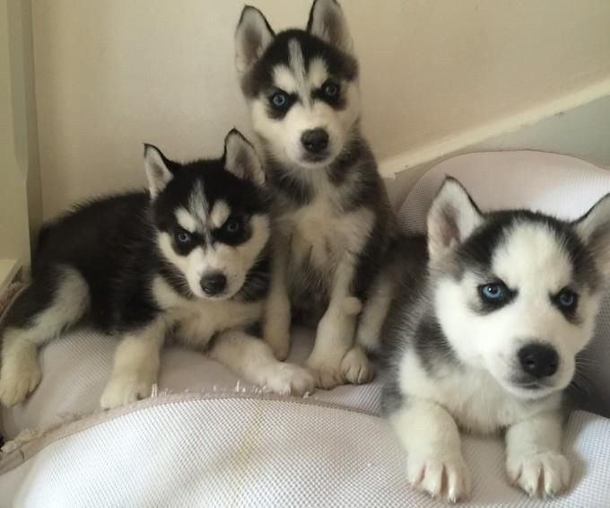 blue eyes Siberian Huskies Puppies For Sale