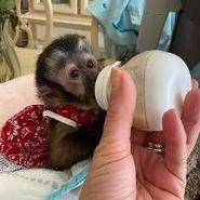 Capuchin Monkeys Available