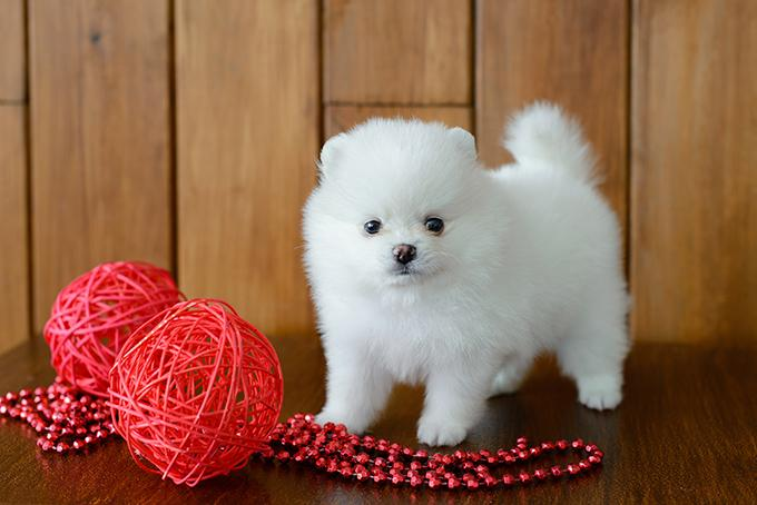 cute maltese puppies now ready for sale