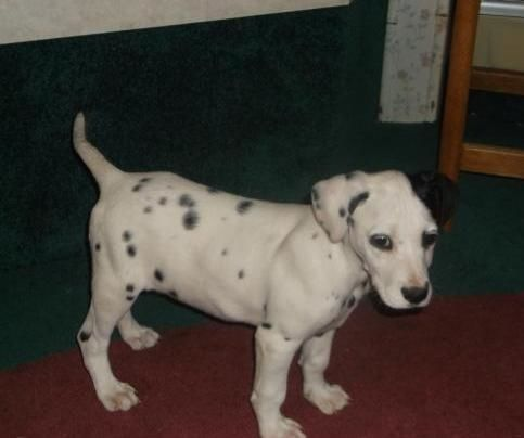 Dalmatian Puppies socialized, love attention