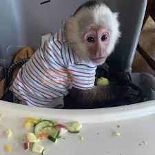 Female capuchin monkey for sale